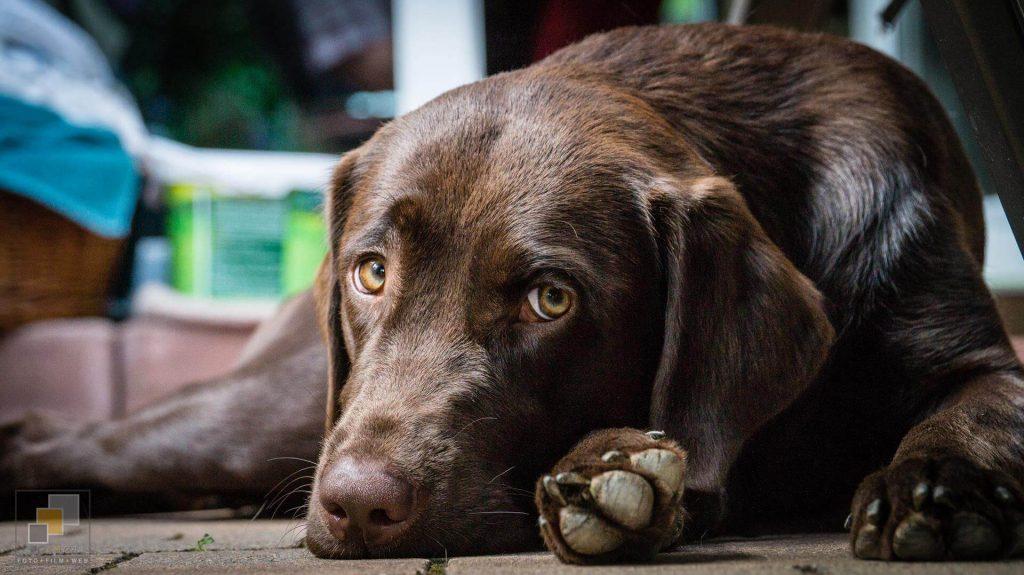 Amber Spirit of Elmslane Labrador Retriever