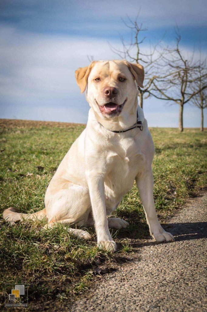 """Asra """"Josy"""" - Labrador from Casey´s Garden"""