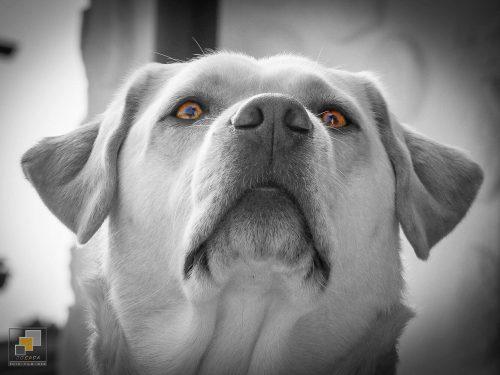 """Bild-Retusche - Asra """"Josy"""" - Labrador from Casey´s Garden"""
