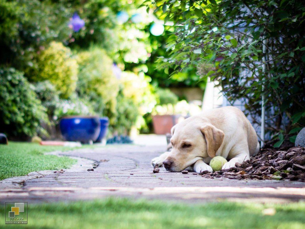 """Ally """"Ginger"""" - Labrador from Casey´s Garden"""