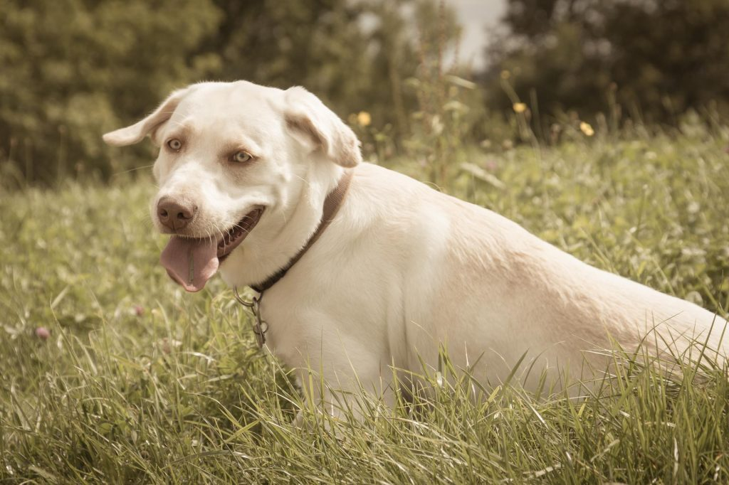 Ania Mia Spirit of Elmslane Labrador Retriever