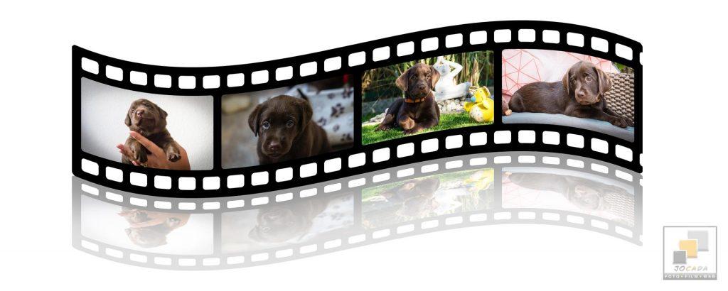 Labrador Welpen from Caseys Garden