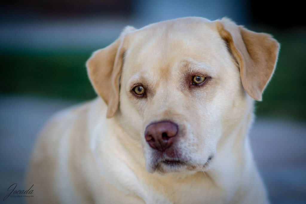 Labrador Retriever Josy Jara