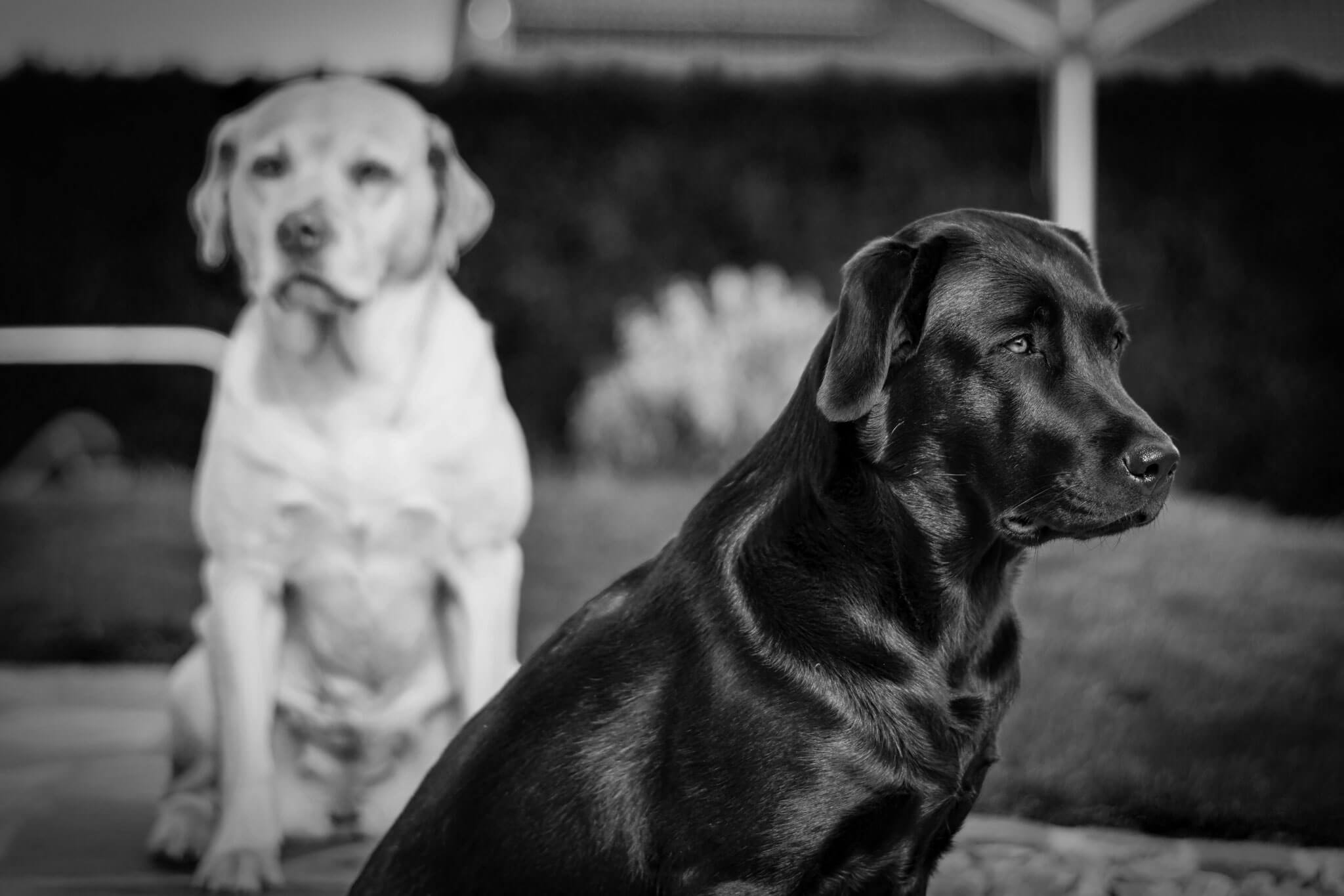 Labrador Retriever – Josy und Jara