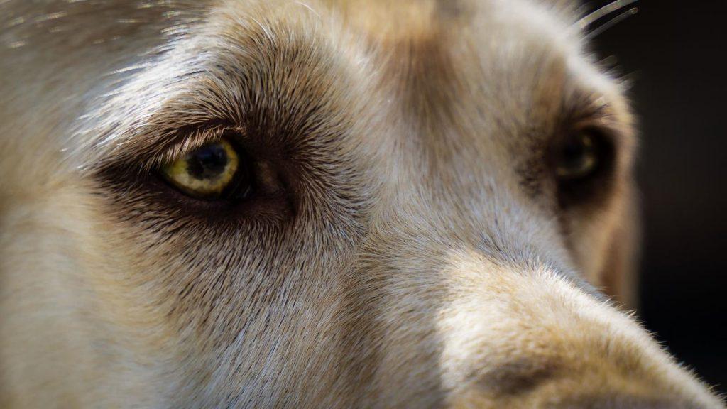 Labrador Retriever – Josy