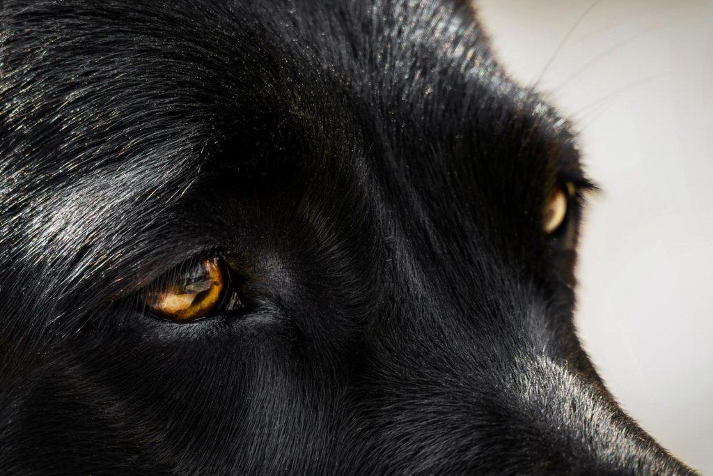 Labrador Retriever – Jara