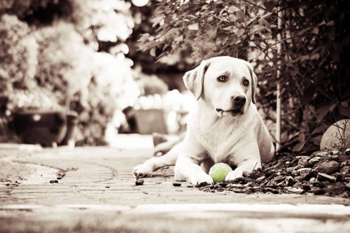 Labrador Retriever - Ginger