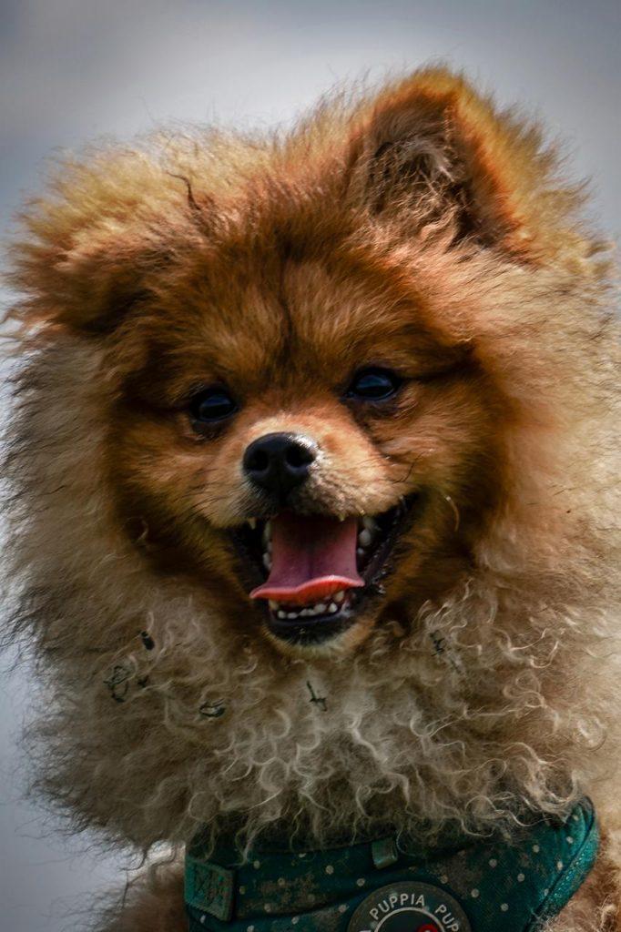 Pomeranian / Zwergspitz - Zeus